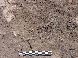 Resti di pesce vecchi di diecimila anni rinvenuti durante lo scavo del sito archeologico di Al Khiday