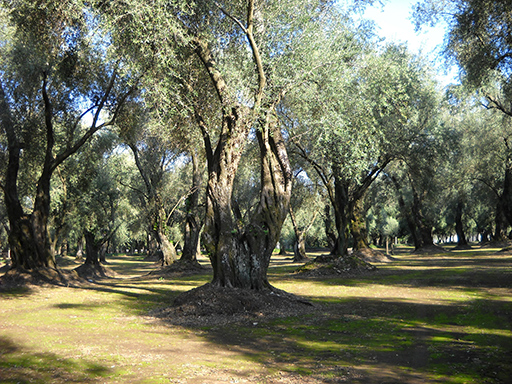Albero-ulivo